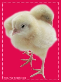 Śliczne małe kurczaki PSD