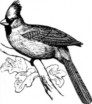 Kardynał - ptak