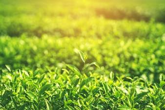 Świeże liście herbaty rano z sunlight