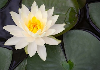 Żółty kwiat lotosu w stawie