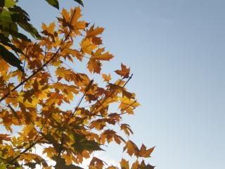 żółty liści klonu