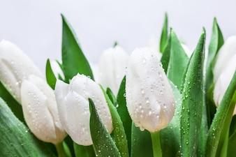 Białe tulipany ze śniegiem