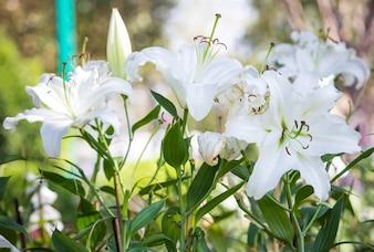 Biały kwiat lilii w ogrodzie