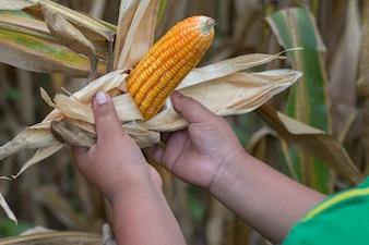 Biedny Asian Chłopiec sprawdzić i zebranie jego kukurydza na polu kukurydzy w Azji Południowo-Wschodniej