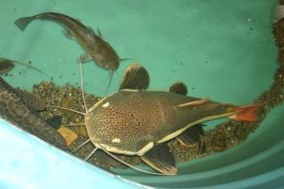 bullhead spełnia catfish Redtail