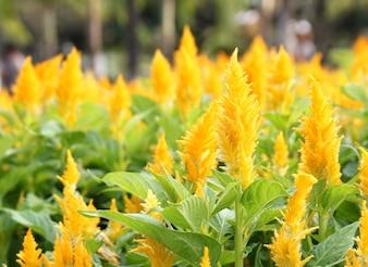Cockscomb kwiat w ogrodzie