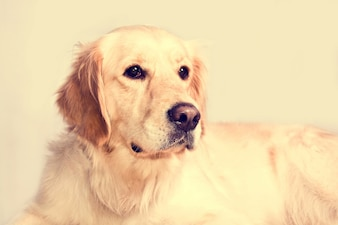 Cute golden retriever dog.