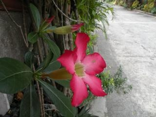 Czerwone tulipany, magenta