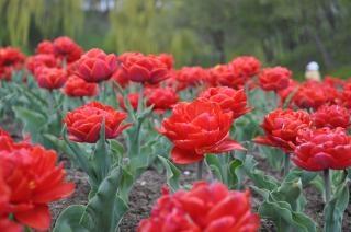 czerwone tulipany tulipany