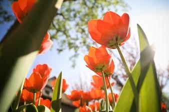 Czerwone tulipany w ogrodzie