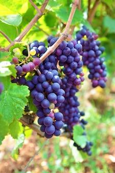 Duże kiści winogron wiszące z winorośli