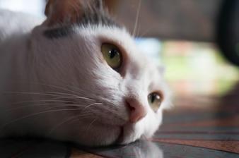 Głowa kot bliska.