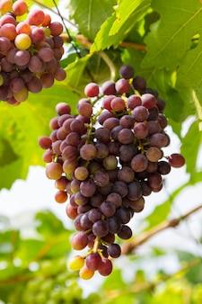 Garść dojrzałych winogron na winorośli