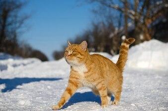 Jasnobrązowy kot idzie na śnieg na ulicy w zimie