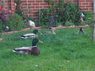 kaczki w ogrodzie