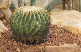 Kaktus roślin dekoracji w ogrodzie