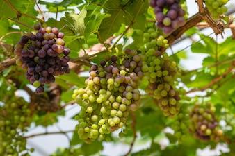 Kiść winogron na winorośli