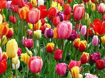 kolorowe tulipanów pogodny łóżko kolorowe tulipany