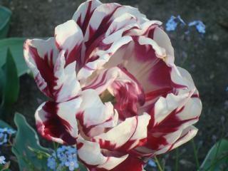 Kwitnąca kolorowe tulipany