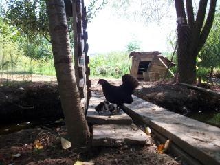 małe kurczaki