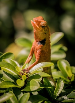 Mały pomarańczowy kameleon na krzaku w ogrodzie
