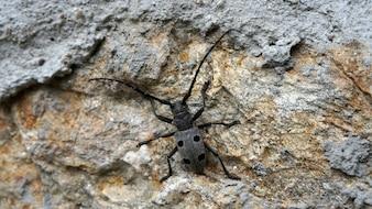 Mesosa curculionoides. Beetle zbliżenie