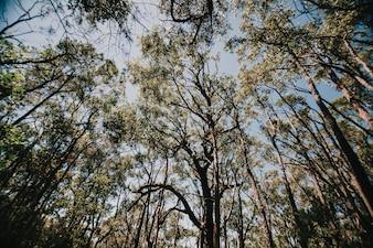 Niski kąt australijski lasu eukaliptusowego.