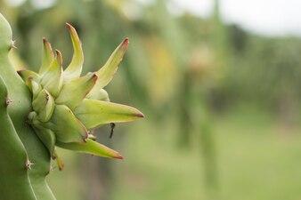 Owoc smoka na roślinie, Surowe owoce Pitaya na drzewie, pitaja lub pitahaya jest owocem kilku gatunków kaktusa pochodzących z Ameryki