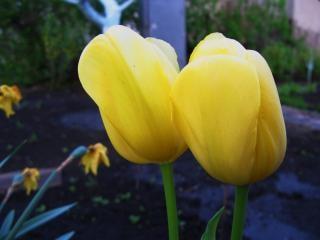 Para tulipany