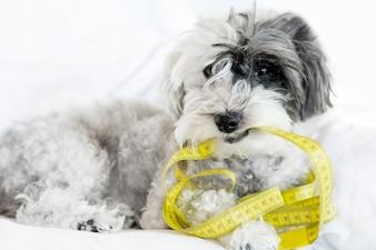 Pies gryzie taśmę pomiarową w śniegu