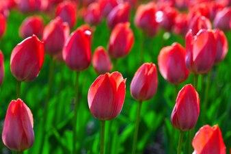 Pole czerwone tulipany