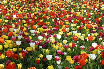 Pole piękne tulipany