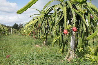 Pole plantacji sadów owocowych w Tajlandii, To ulubione owoce w Azji