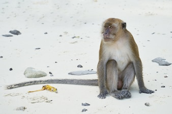 Portret Małpy