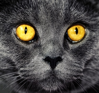 Przeznaczone do walki radioelektronicznej piękne luksusowy szary british Kot z tętniącymi życiem oczy. Ciemne Tło. Selektywne fokus. Dramatyczny.