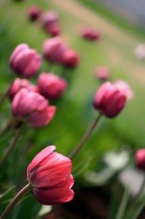 różowy tulipan tulipany