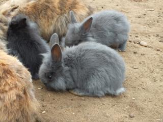 rodants króliki