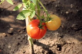 Smaczne zdrowe jedzenie pyszne zdrowe pomidor