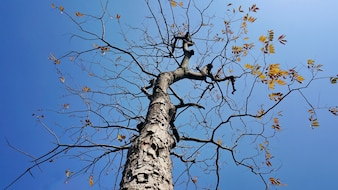 Suche drzewo z nieba tle