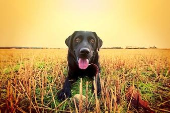 Szczęśliwy czarny labrador.