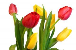 tulipany żółty, zielony