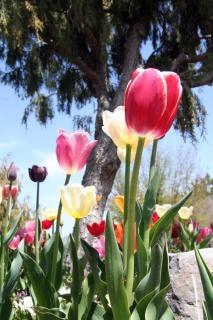 Tulipany, ogród