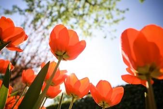 Tulipany od dołu