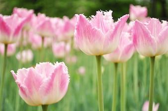 Tulipany tle różowo