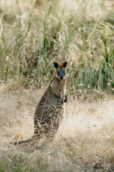 Wallaby (Macropodidae Macropus)
