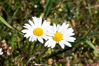 Wspólne daisy (Bellis perennis) na łące na wiosnę