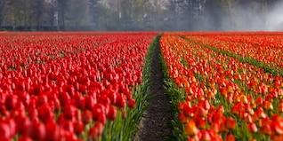 campos de tulipanes campo de tulipanes de color naranja de fondo
