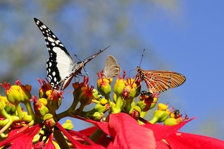flora mundo poinsettia fauna animal de mariposas