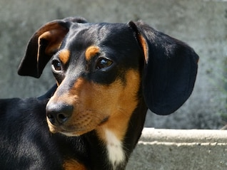 perro fox hound animal canino