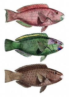 chlorurus bar troschelii loro perca pescado dentada